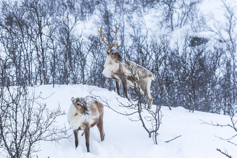 Scandinavian wild male and female reindeer or caribou standing i. N a forest with snow in the mountains during winter season royalty free stock image