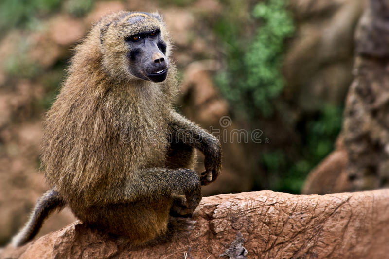 Scape обезьяны стоковые фотографии rf