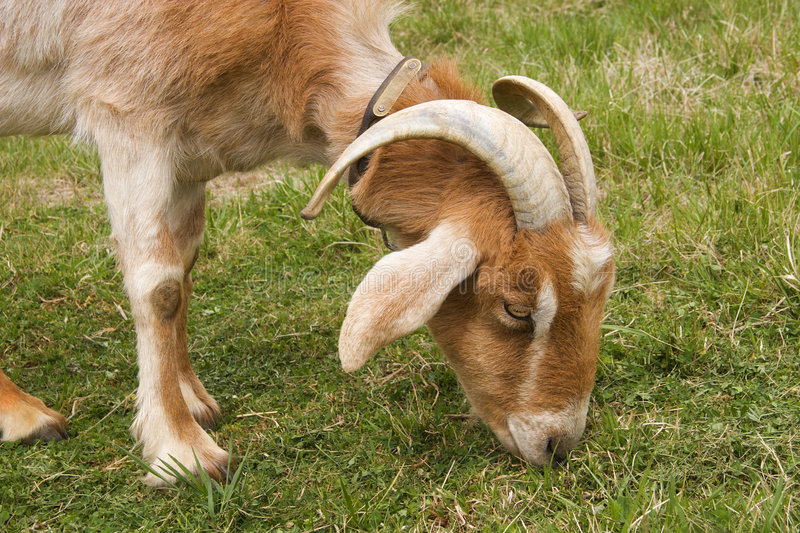 Scapegoat royalty free stock image