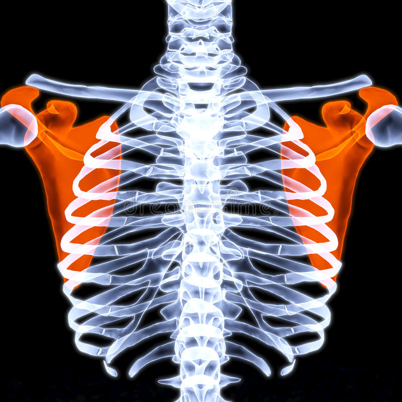 Scapula. Human thorax under X-rays. scapula are highlighted in red stock illustration