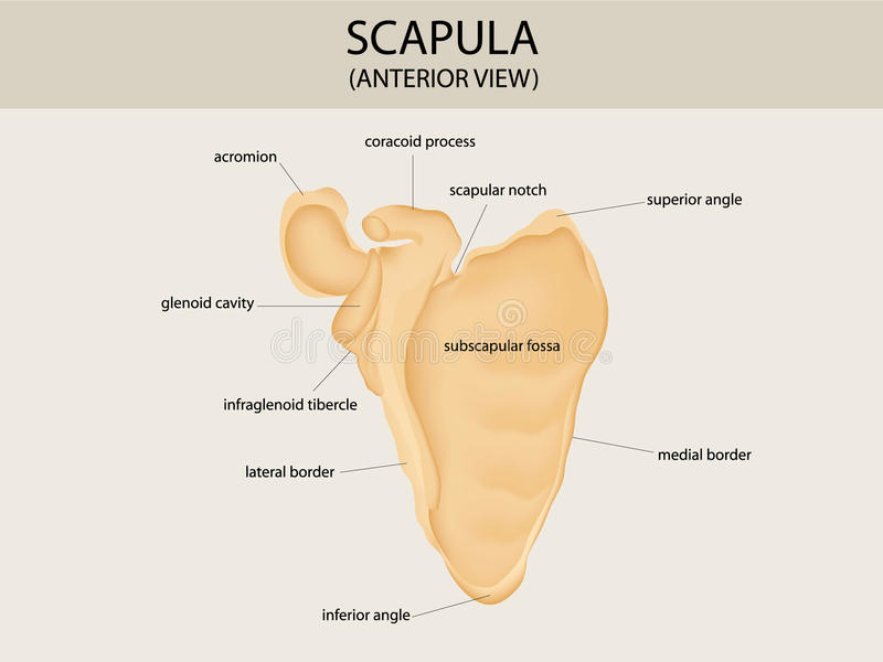 Scapula. Illustration of human scapula (anterior view stock illustration