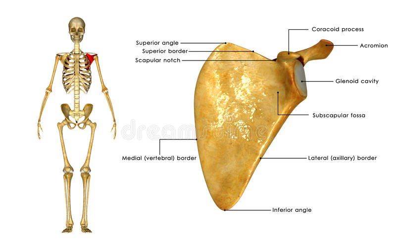 Scapula. Is the bone that connects the humerus (upper arm bone) with the clavicle (collar bone) royalty free illustration