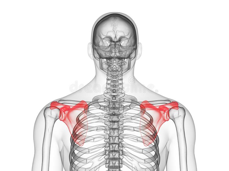 The scapula. 3d rendered medically accurate illustration of the scapula vector illustration