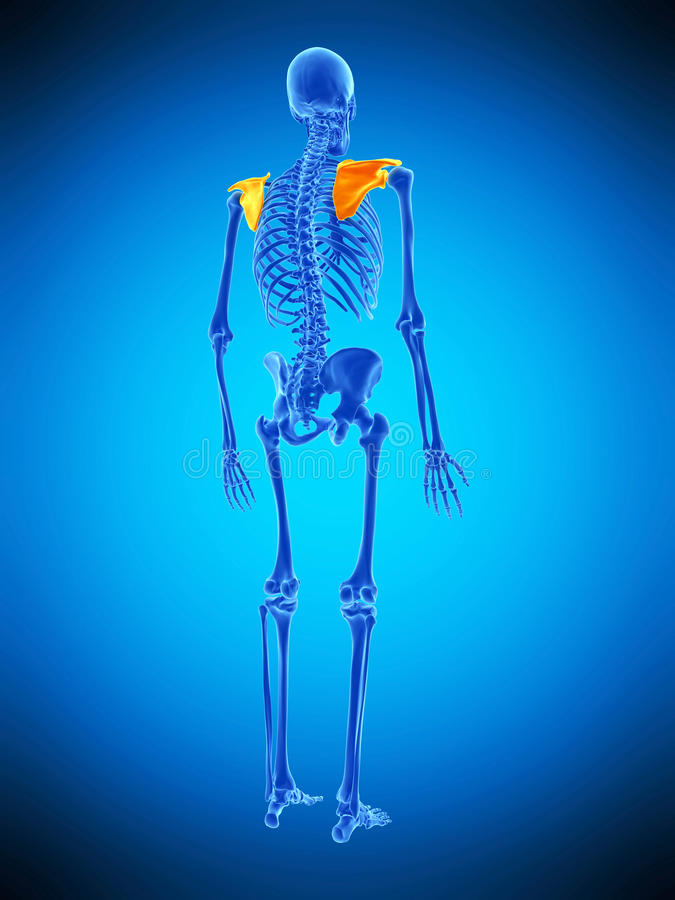 The scapula. Medically accurate illustration of the scapula royalty free illustration