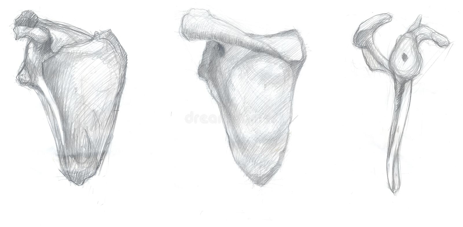 Scapula views. Hand drawn illustrations of scapula bone, original artistic pencil sketches on paper, dorsal, ventral and lateral view stock illustration