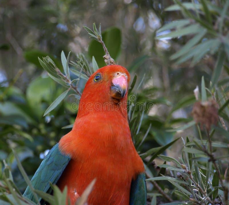 scapularis παπαγάλων βασιλιάδων alisterus στοκ εικόνες
