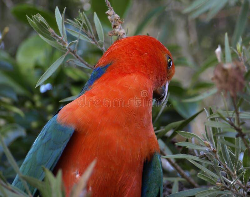 scapularis παπαγάλων βασιλιάδων alisterus στοκ φωτογραφία με δικαίωμα ελεύθερης χρήσης