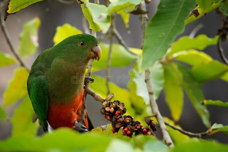 Scapularis australiens d'Alisterus de perroquet de roi image stock