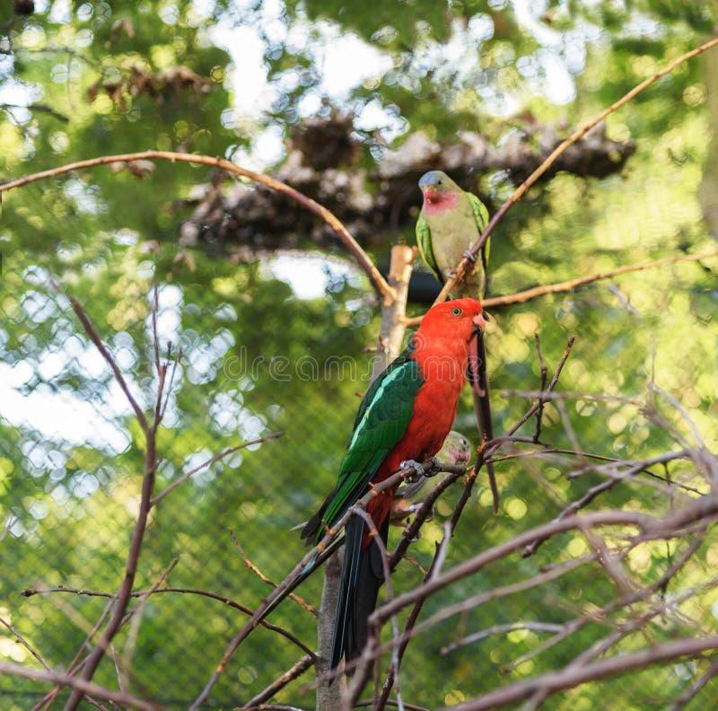 Scapularis australiens d'Alisterus de perroquet de roi photos libres de droits