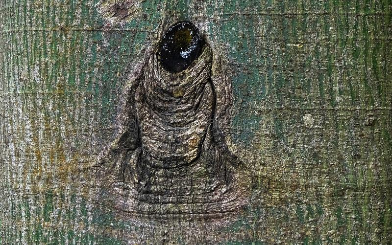 A scar on the bark is like a person. The scar on the bark is like a man, a Buddha statue wearing a mourning scripture stock photo