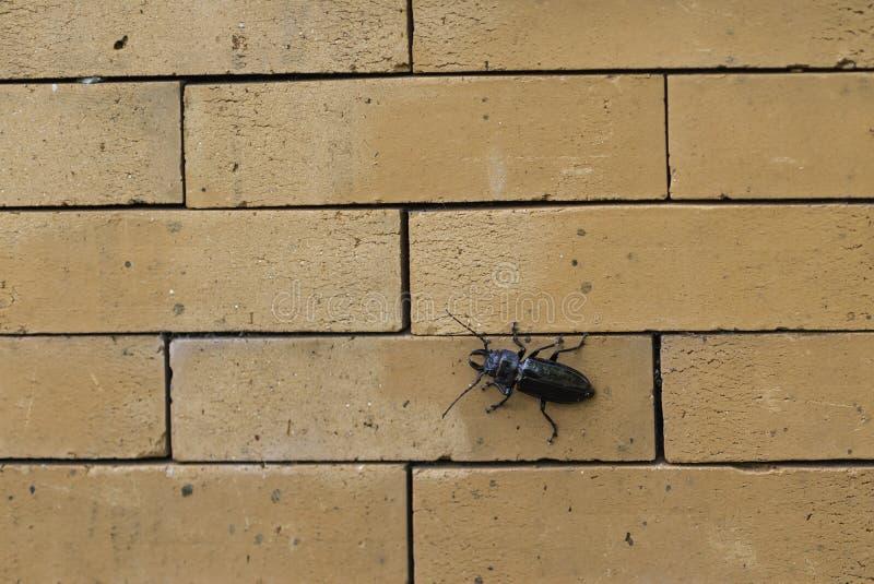 Scarabäus stuft ruhig die Backsteinmauer ein stockbilder