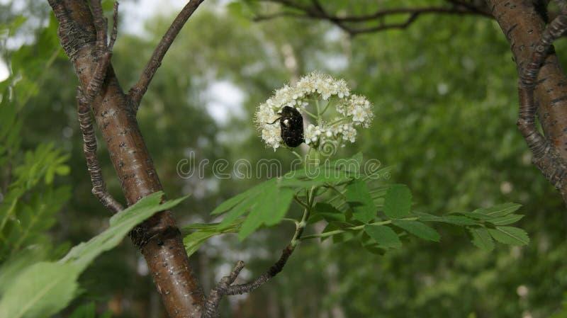 scarabée image libre de droits