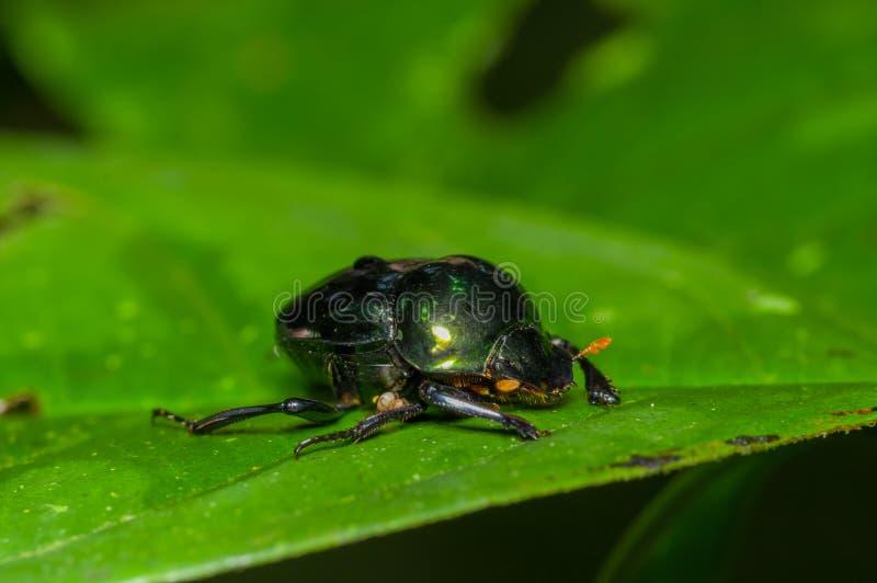Scarabée amazonien de scarabée au-dessus d'une feuille verte à l'intérieur de la forêt tropicale d'Amazone en parc national de Cu photographie stock libre de droits