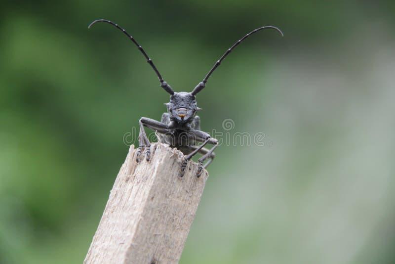 Scarabée-bûcheron, ou un scarabée long-à cornes (Cerambycidae) photographie stock libre de droits
