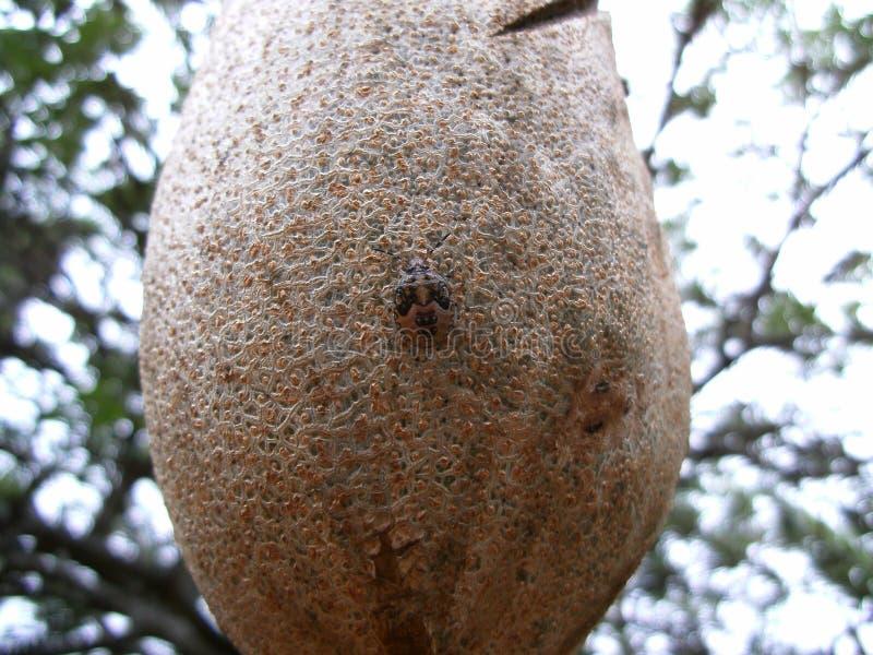 Scarabée camouflé sur le fruit au Souaziland images libres de droits