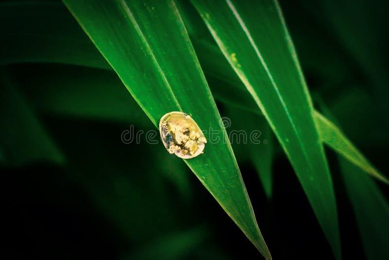 Scarabée d'or de tortue (sexpunctata de Charidotella) photographie stock
