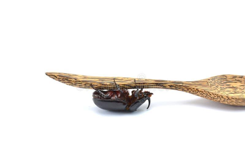 Scarabée de combat (scarabée de rhinocéros) photos libres de droits