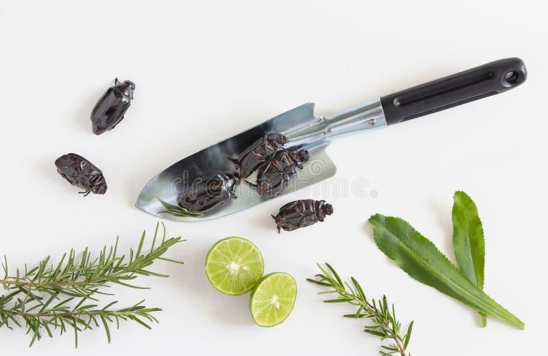 Scarabée de hanneton solsticial ou de scarabée sur la table en bois Le concept des sources de nourriture de protéine des insectes photo libre de droits