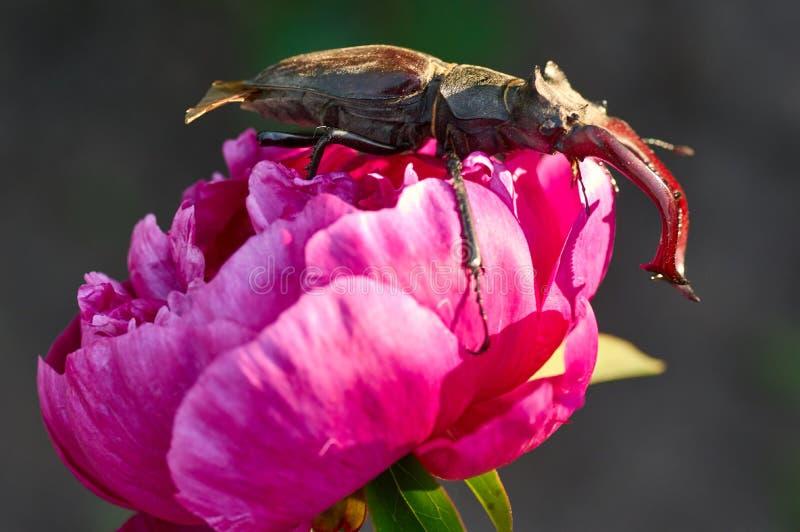 Scarabée de mâle, fairmairel de Lucanus, sur la fleur photos libres de droits