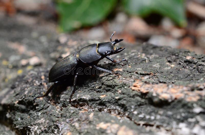 Scarabée de mâle, parallelipipedus de Dorcus photographie stock libre de droits