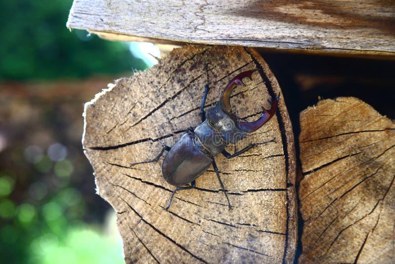 Scarabée de mâle, refroidissant sur du bois photo libre de droits