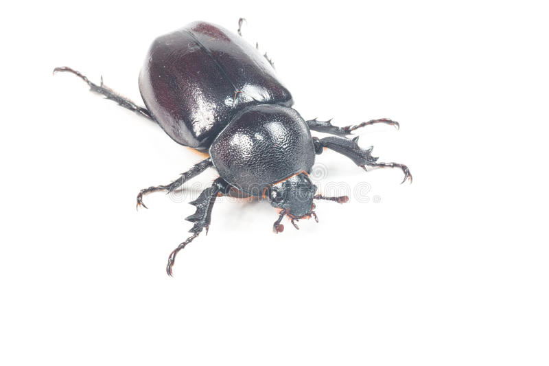 Scarabée de Rhinceros, Unicorn Beetle photographie stock