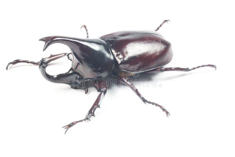 Scarabée de Rhinceros, Unicorn Beetle images libres de droits