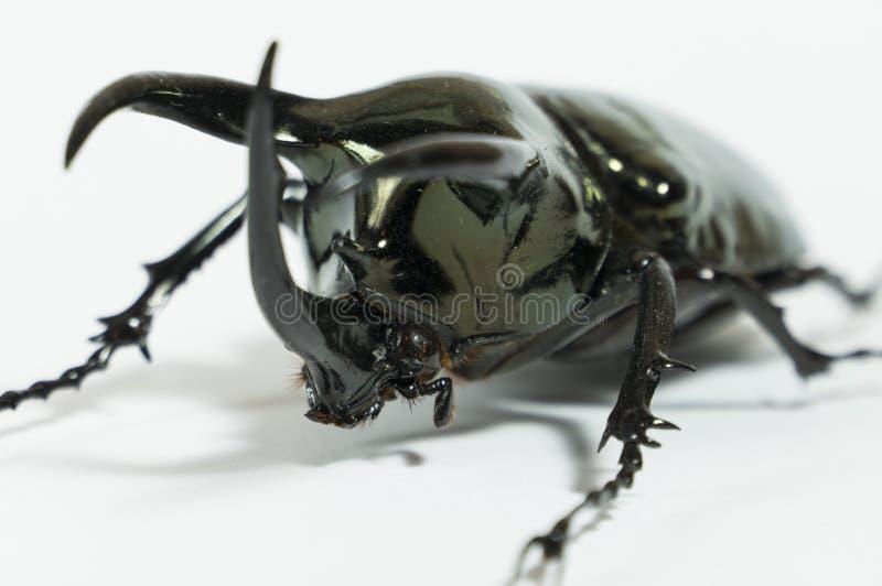 Scarabée de rhinocéros Chalcosoma Caucase, scarabée de rhinocéros, scarabée de licorne, scarabée de klaxon d'isolement image libre de droits
