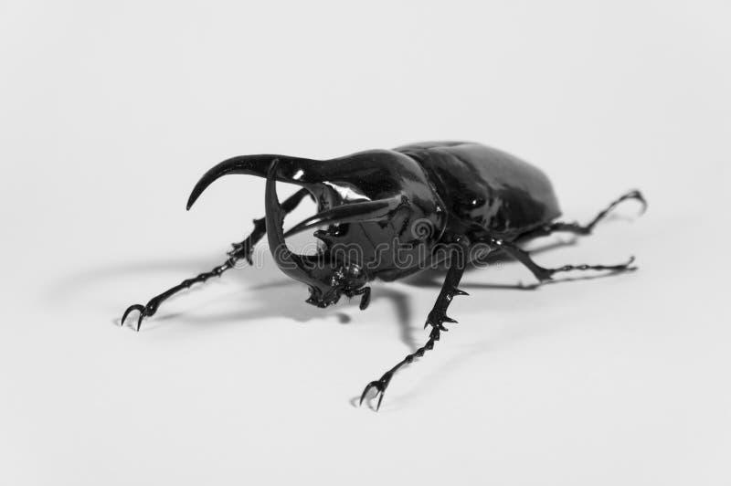Scarabée de rhinocéros Chalcosoma Caucase, scarabée de rhinocéros, scarabée de licorne, scarabée de klaxon d'isolement photographie stock libre de droits