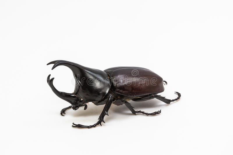 Scarabée de rhinocéros, scarabée de rhinocéros, scarabée de Hercule images libres de droits