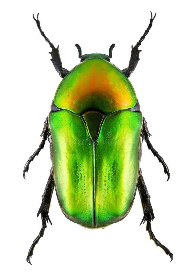 Scarabée de scarabée de fleur sur le blanc photos stock