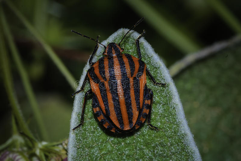 Scarabée de Scarabaeidae images libres de droits