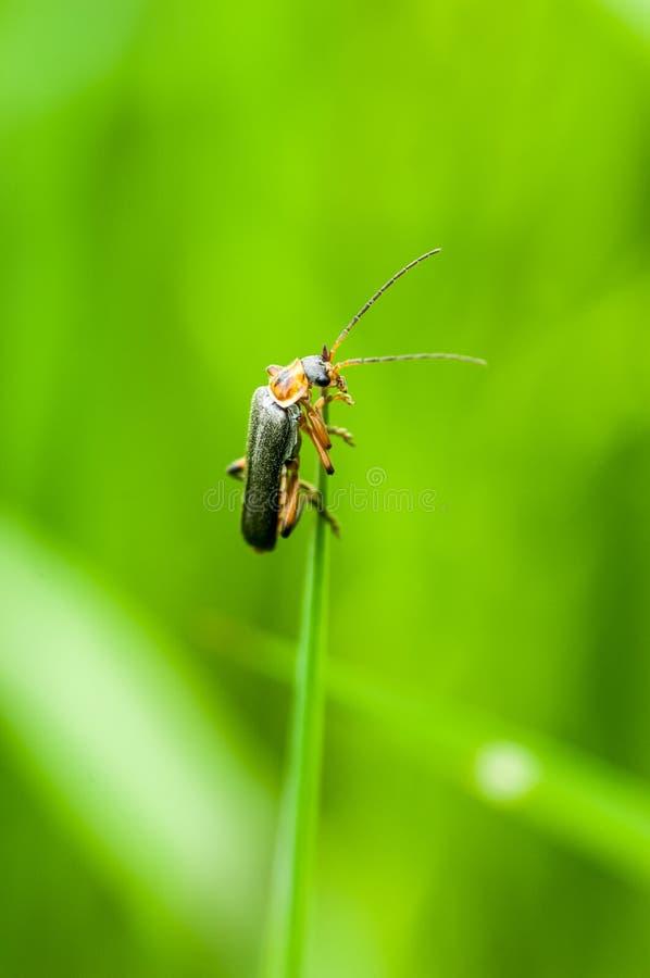 Scarabée de soldat de portrait d'insecte images libres de droits