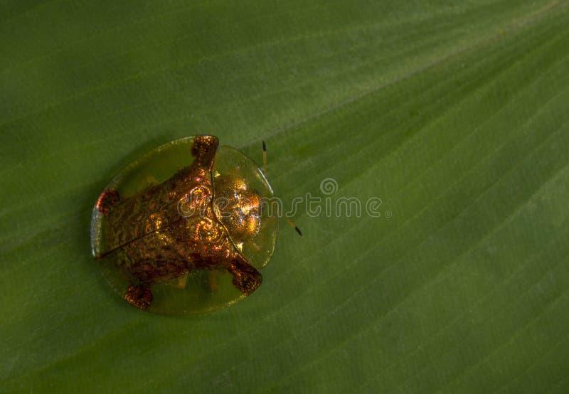 Scarabée de tortue photos stock