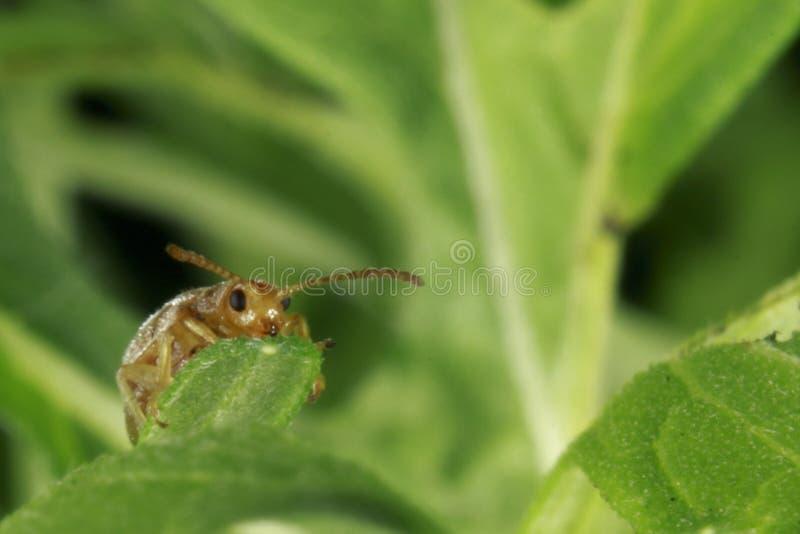 Scarabée en gros plan d'insecte photo libre de droits
