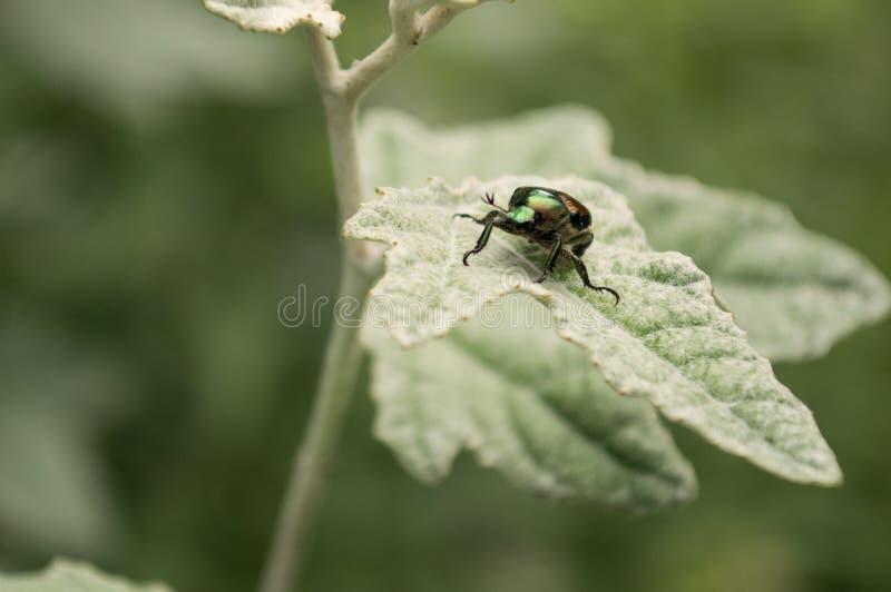 Scarabée iridescent sur la feuille verte photographie stock