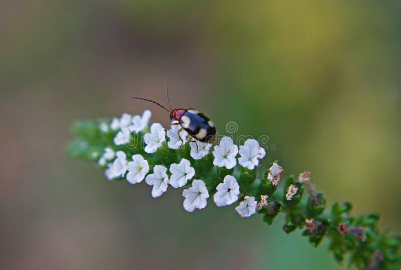 Scarabée minuscule sur les fleurs pourpres indiennes photographie stock