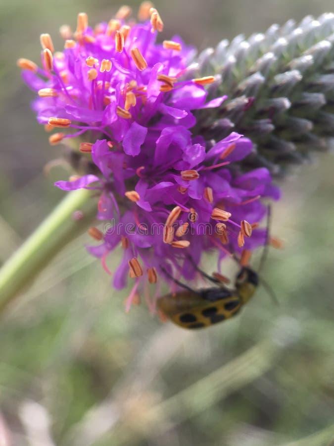 Scarabée repéré de concombre pollinisant le trèfle pourpre de prairie photos stock