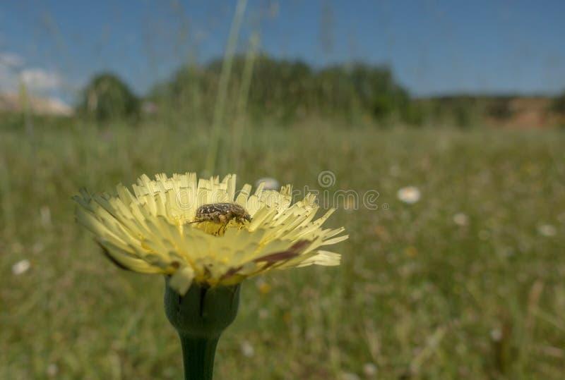 Scarabée repéré méditerranéen de scarabée sur des fleurs photographie stock libre de droits