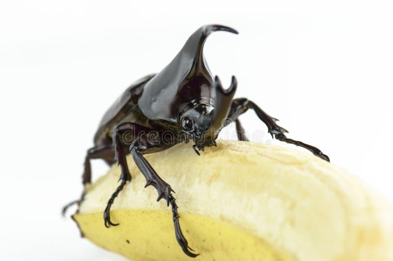 Scarabée, scarabée de rhinocéros, scarabée de rhinocéros, scarabée de Hercule, scarabée de licorne, scarabée de klaxon (Dynastina image stock