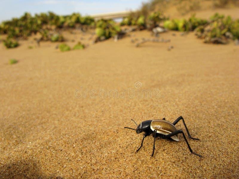 Scarabée sombre de Tok-tokkie (PS d'Onymacris ) sur le sable du désert de Namib en Namibie, l'Afrique du Sud images stock