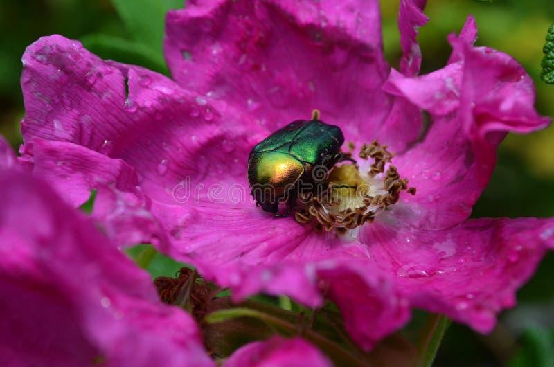 scarabée sur une fleur de rose photo stock - image: 44004208