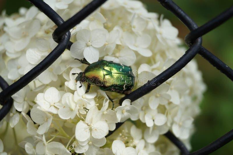 Scarabée vert au centre de la photo se reposant sur les fleurs blanches photos libres de droits