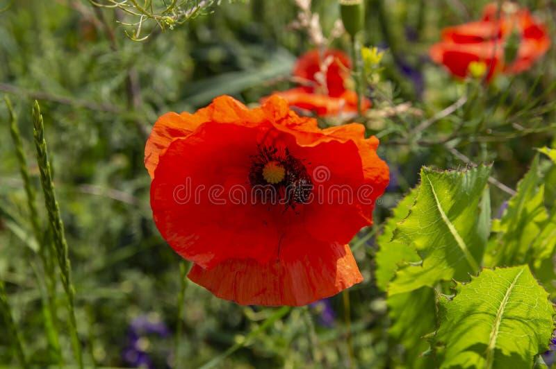 Scarabées d'insecte à l'intérieur d'une fleur de pavot image stock