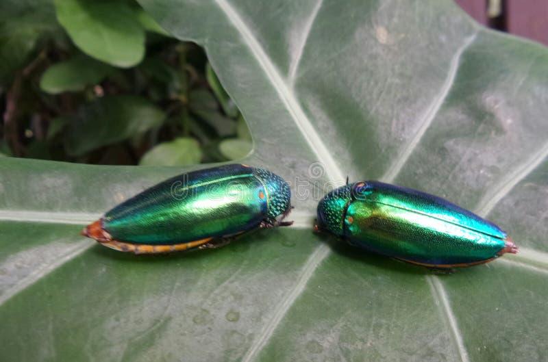 Scarabées de bijou de scintillement sur la feuille verte dans le jardin photographie stock