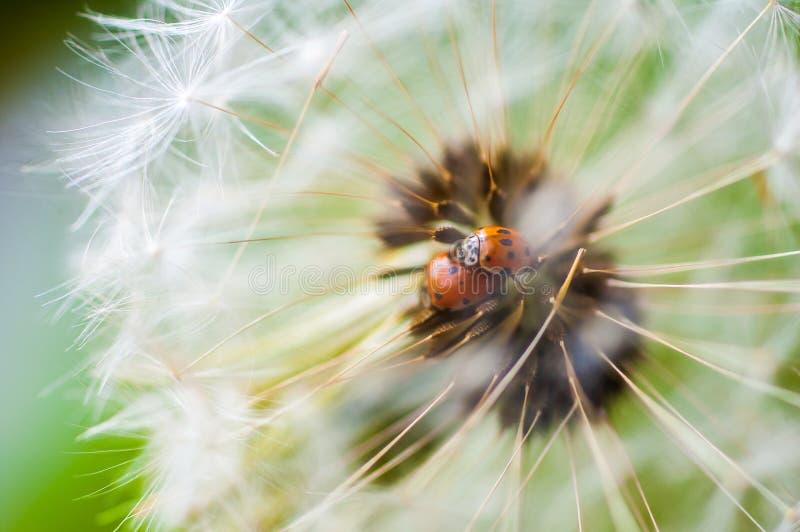 scarabées de dame Sept-repérés photo libre de droits