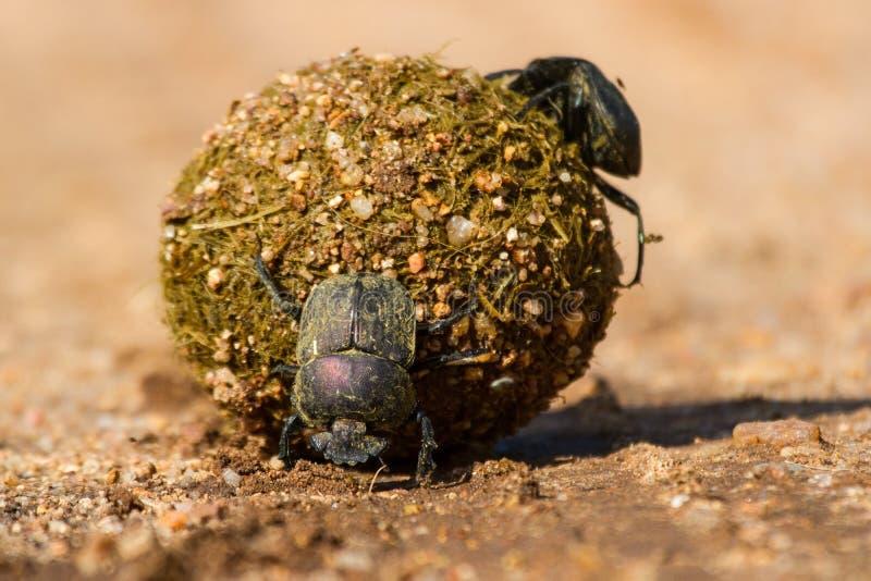 Scarabées de Dung roulant leur boule avec des oeufs à l'intérieur photographie stock