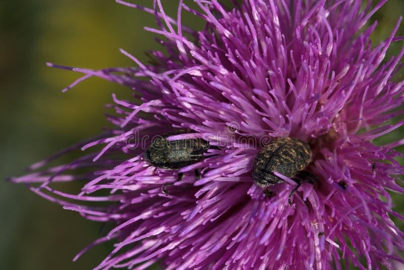2 scarabées sont en fleur de chardon photographie stock