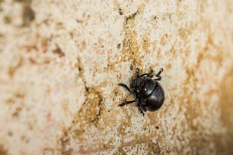 scarab royaltyfri bild
