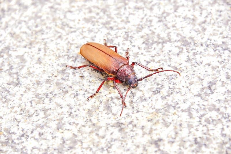 scarab fotografia de stock royalty free